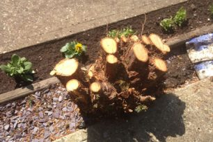 Conifer Stump Grinding In Aylesbury – Before & After