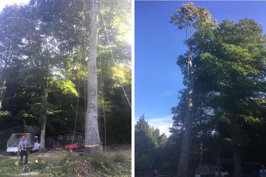 Beech tree felling in Aston Hill