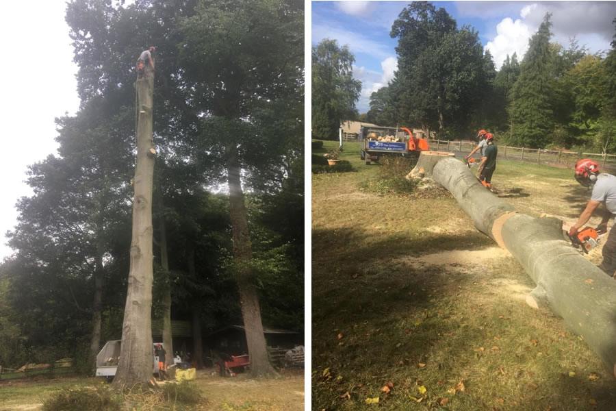 Beech tree felling and removal in Oxfordshire