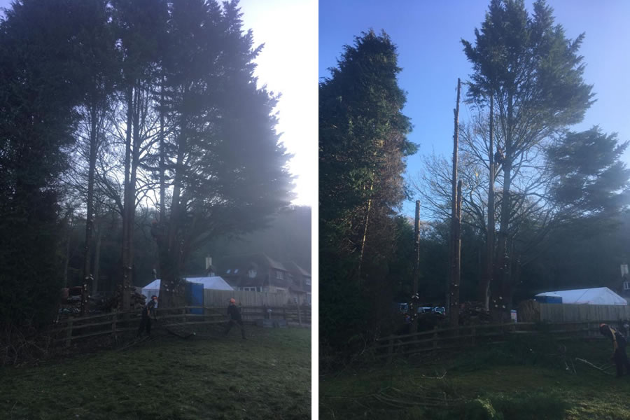 Large conifer felling in Oxfordshire