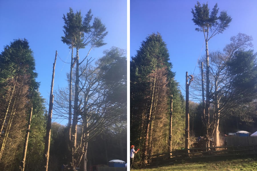 Conifer felling in Oxon at Aston Hill