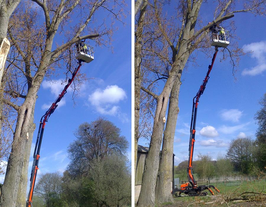 Crown Raising Of Thame Poplar Tree