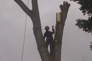Thame Poplar Tree Being Felled