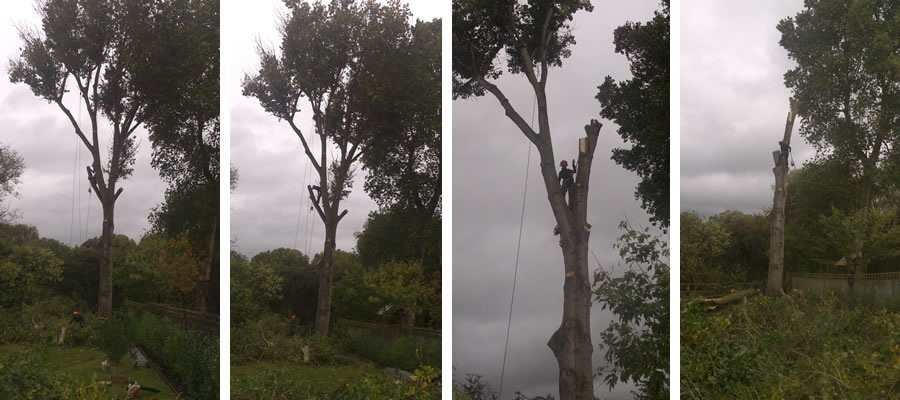 Thame poplar tree being felled in sections