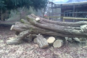 Acacia Tree Felling near Aylesbury at Hartwell