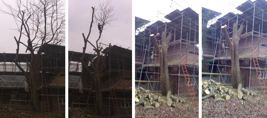 Tree felling in Aylesbury