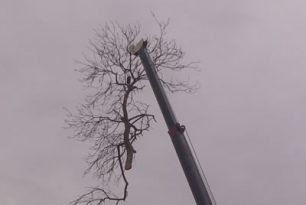 Ash & Willow Tree Felling At Wheatley, Near Oxford