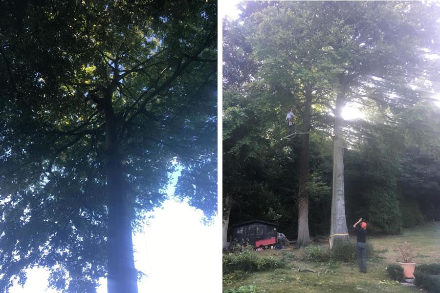 Beech tree felling in Oxfordshire
