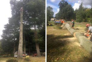 Large Beech Tree Felling In Aston Hill In Oxfordshire