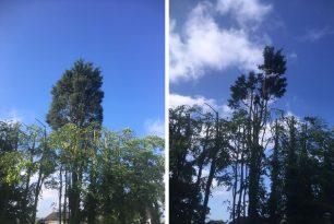 Conifer Felling In Thame