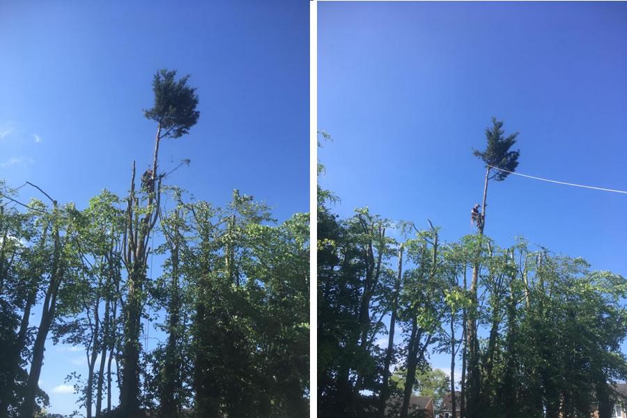 Thame large conifer felling
