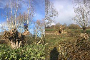 Old Willow Trees Pollarding In Stadhampton