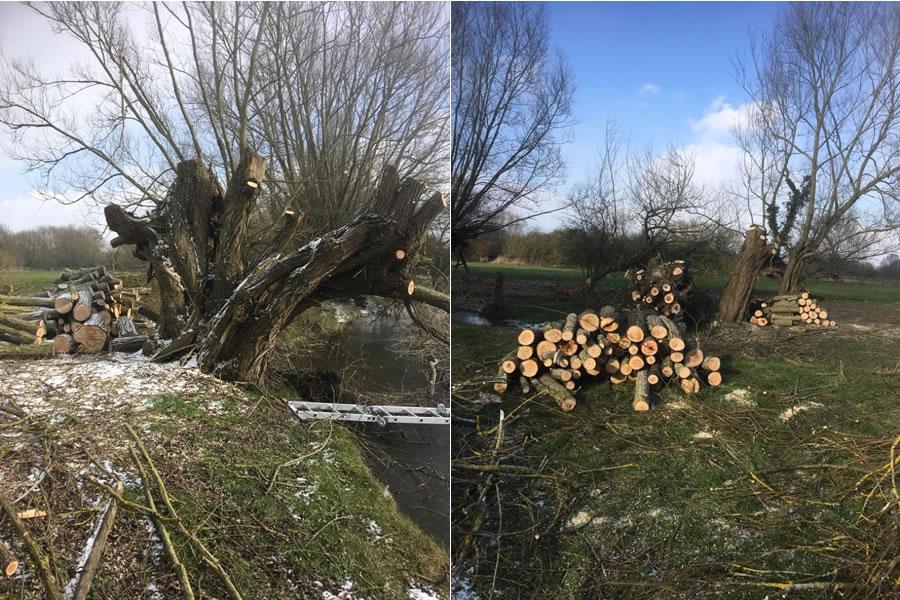 Oxfordshire pollarding of willow trees